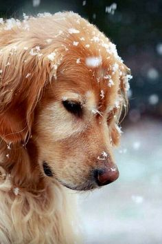 An old friend in the snow. Lovely dog. Would love a golden retriever with such a dignified face :)
