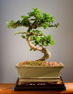 Bonsai. Ross loves his little tree I got him for Christmas