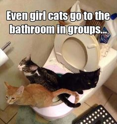 Cats|Cat Photo And Quote|Even girl cats go to the bathroom in groups...|Source:dailylolpics.com|--While looking at this sweet photo, I couldn't stop laughing. The statement goes with it so well. I don't believe I could think of a better fitting one.