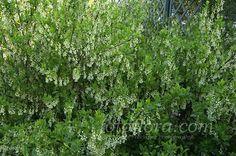 Oemleria cerasiformis - Indian Plum  bc native