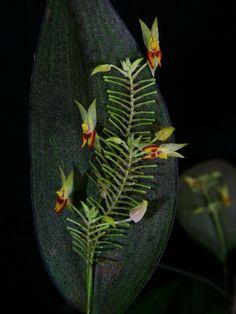 Lepanthes elegans - Flickr - Photo Sharing!