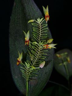 Lepanthes elegans - Flickr - Photo Sharing!