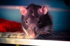 Hippy rat