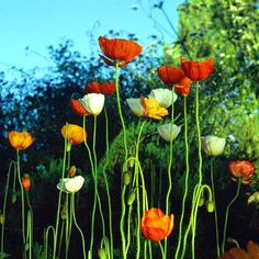 Iceland poppy, If I can seperate out the colors I can put them in my yellow and orange garden areas. Poppy means fantastic extravagance.
