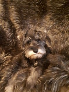 Camuflage Schnauzer pup Django #miniatureschnauzerpuppy