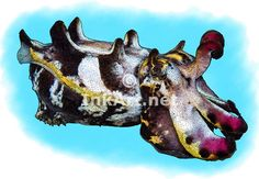 Full color illustration of a Flamboyant Cuttlefish (Metasepia pfefferi)