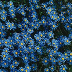 Felicia amelloides    Blue Marguerite has bright blue daisy-like flowers which cover the pretty foliage for much of the year. Suitable for pots, borders, rockeries and mixed garden beds. Tolerates frost and coastal air.  Prefers a full sun to part shade position.  Plant 50cm apart    Grows 30cm high x 100cm wide.