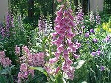 Foxglove.  These are biennial flowering plants.  Plant seeds two years in a row for annual blooms.  They'll self seed after that.  Digitalis purpurea.