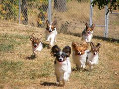 Ears Up! Papillons on the run.