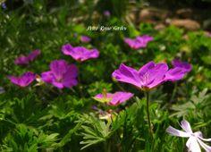 Petra Rosso' Garden. Blue & purple flower bed. Geranium. Spring