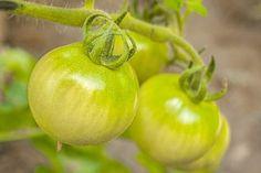 Tomates Vertes, Tomates, Alimentaire