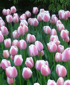 Tulip Ollioules - Giant Darwin Hybrid - Tulips - Flower Bulbs Index