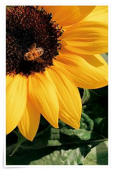 11 Formidable Yellow Pictures Honey Bee Perched On Yellow Sunflower In Closeup Photography Honey Pictures, Honey Images, Pictures Images, Organic Gardening, Gardening Tips, Sunflower Pictures, Drawn Art, Close Up Photography, Yellow Sunflower