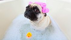 How To Make Your Pug Smell Better