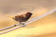 Scaly breasted munia resting on wire