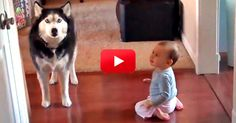 This Husky and baby clearly have a lot to talk about, and they don't care who knows it. Funny Animal Videos, Funny Animal Pictures, Funny Animals, Cute Animals, Funny Videos, Dog Day Afternoon, Talking Animals, Baby Friends, Animal Rescue Site