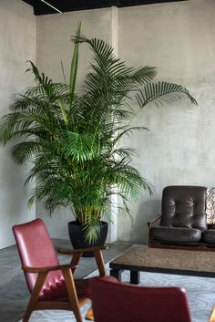 Mid-century Danish furniture and pot plants are arranged around the carpets making intimate living room-style seating areas. Black Dining Room Chairs, Farmhouse Table Chairs, Bar Chairs, Ikea Chairs, Eames Chairs, White Chairs, Upholstered Chairs, Mid Century Chair, Mid Century Furniture