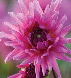 Dahlia 'Sugar Diamond'