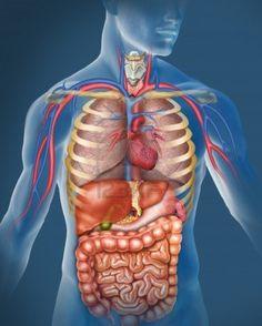 Het menselijk lichaam: door juf gepind.