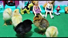 baby chicks feeding : play with baby chicks 🐤 : chicks eating eggs : 3 days old chicks Day Old Chicks, Baby Chicks, Eating Eggs, Best Kids Toys, Baby Play, A4, Animals, Check, Animales