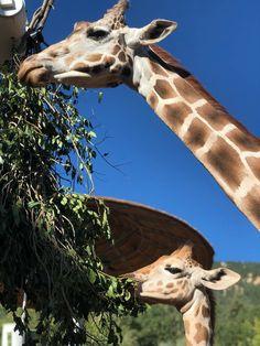 Cheyenne Mountain Zoo, Giraffe, Animals, Felt Giraffe, Animales, Animaux, Giraffes, Animal, Animais
