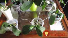 Lopatkovec a orchidea mi teraz kvitnú nonstop: Vyberte ich zo substrátu a postavte do pohára s obyčajnou vodou, tá zmena je neskutočná! Plants, Plant, Planets