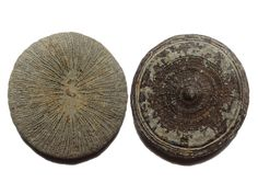 Cyclolite Coral Fossil, Morocco, Upper Cretaceous (80 MYA) - 19.3g