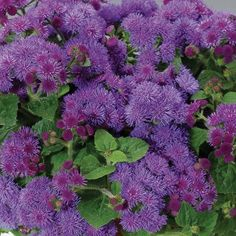Perennial flower identification stock photo campanula glomerata artist blue ageratum takes the heat and brings the color all season will grow to 8 12 in height and will grow in mass in beds and containers emfl mightylinksfo