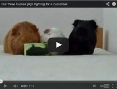 And who knew guinea pigs were strong enough to lift a hefty chunk of cucumber?