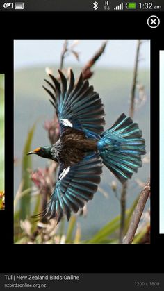 Tui (Prosthemadera novaeseelandiae) in flight. tui is an endemic passerine bird of New Zealand. It is one of the largest members of the diverse honeyeater family. The name tui is from the Māori name tūī and is the species' formal common name All Birds, Love Birds, Beautiful Birds, Animals Beautiful, Nicolas Vanier, Tui Bird, Birds Online, Nz Art, Maori Art
