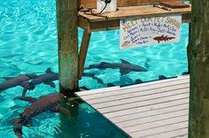 Compass Cay, Exuma, Bahamas (love this place! Exuma Bahamas, Bahamas Vacation, Vacation Spots, Exuma Island, Bahamas Island, Pig Island, Beaches In The World, Paradise Island, Destin Beach