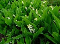 1 Convallaria majalis, Lily of Valley White Fragrant Shade BEE pollinator Plant