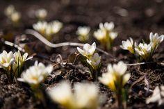 kevään ensimmäiset kukkijat - Google-haku