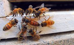 Bee Behavior. You can learn more about the health of your bees by observing the behaviors of the queen bee and the hive.