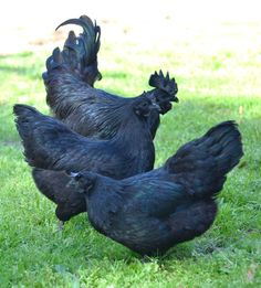 The ayam cemani, a prized breed of  Indonesian chicken, is the result of a genetic mutation that produces a completely black bird, from beak to bone.