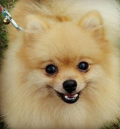 A Pommy Mommy International Story  Kong the Pomeranian. This is NOT a love at first sight story. Find out if Kong won over his mommys heart or not! Click here  http://pommymommy.com/a-pommy-mommy-international-story-kong-the-pomeranian/#