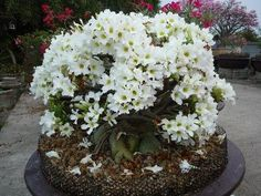 Adenium white flowers bonsai