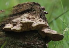 Wildeep's Illuminations: Maze-gill fungus
