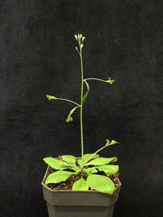 How to Manipulate Plants to Build a Better Biofuel - Scientific American
