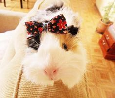 so cute..Hope we get a girl guinea pig so I can put bows in her hair and sew up some cute stuff.