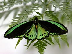 Come face-to-face with exotic, vibrant butterflies fluttering atop lush tropical canvas in Finca Punta Islita, Costa Rica. Butterfly Kisses, Butterfly Wings, Madame Butterfly, Beautiful Bugs, Beautiful Butterflies, Flying Flowers, Moth Caterpillar, Butterfly Pictures, Cairns