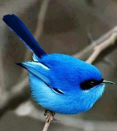 The blue fairy wren of Australia. I want a blue fairy. Pretty Birds, Love Birds, Beautiful Birds, Animals Beautiful, Beautiful Pictures, Three Birds, Birds 2, Glass Birds, Exotic Birds