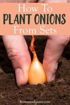 Organic Gardening Supplies Needed For Newbies Grow Onions From Bulbs: How To Grow Lots Of Amazing Onions In Your Garden By Planting Onion Bulbs. Figure out How To Select, Plant, Care For, Harvest And Store Onions. Planting Onions Bulbs, Growing Onions, Growing Tomatoes, Growing Vegetables, Gardening Vegetables, Growing Plants, Growing Sweet Potatoes, Growing Gardens, Organic Gardening