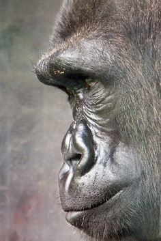 Gorilla- Philadelphia Zoo