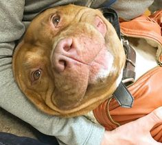 Meatball (Meaty for short) is a pit bull mix that has stolen nearly 40k hearts on Instagram. However, his life wasn't all sunshine and rainbows. Before he had a loving family and all that internet fame, Meaty was spending his days in a shelter.
