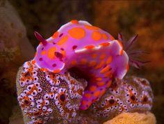 Ceratosoma amoenum #Nudibranch