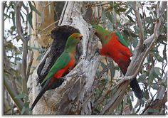 King Parrots practicing housekeeping, via Flickr.