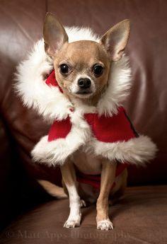 Santa Puppy: 25 Dogs That Want The Job! http://www.babble.com/pets/santa-puppy-25-dogs-that-want-the-job/ #dogs #santa #puppy