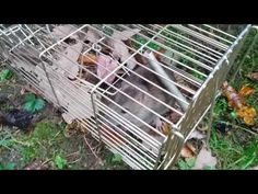 En rotte fanget i en rottefaelde 'Ny familie' http://elverdan.dk/shop/product_info.php?products_id=643