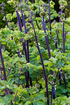 Thalictrum 'Black Stocking' - I think the plant we liked so much at Great Dixter was a thalictrum